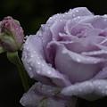 Rosebud by D'Arcy Evans