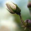 Rosebud by Mike Reid