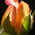 Rosebud by Ralph A  Ledergerber-Photography