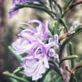 Rosemary Blooming by Rachel Hannah