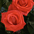 Roses-5840 by Gary Gingrich Galleries