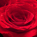Roses Are Red by Alexz Hernandez