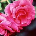 Roses by Ariane Moshayedi