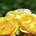 Roses Art Prints Canvas Sunlit Yellow Rose Flowers Baslee Troutman by Baslee Troutman