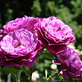 Roses Art Rose Garden Pink Purple Floral Prints Baslee Troutman by Baslee Troutman