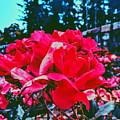 Roses At Mont Alto by Paul Kercher