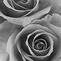 Roses Black And White by Jill Reger