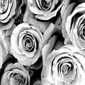 Roses - Black And White by Marianna Mills