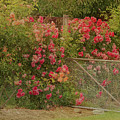 Roses By The Garden Gate by Elaine Teague