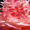 Roses Cinnamon Pink Rose Flowers 3 Rose Garden Art Baslee Troutman by Baslee Troutman