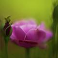 Roses Dream by Mike Reid