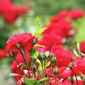 Roses Garden Spring Scene by Goce Risteski