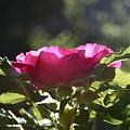 Rose's Illumination by Melany Raubolt