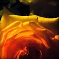 Roses In Moonlight 11 by Diane M Dittus