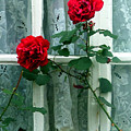 Roses In The Window by Mindy Newman