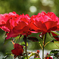 Roses On A Sunny Day by Randy Herring