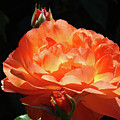 Roses Orange Rose Flowers Rose Garden Art Baslee Troutman by Baslee Troutman