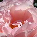 Roses Pink Rose Flower 2 Rose Garden Art Baslee Troutman Collection by Baslee Troutman