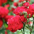Roses Spring Scene by Goce Risteski