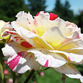 Roses White Pink Yellow Rose Flowers 3 Rose Garden Art Baslee Troutman by Baslee Troutman