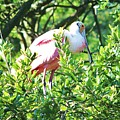 Rosette Spoonbill by Chuck  Hicks