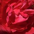 Rosey Day by Susan Carella