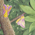 Rosy Maple Moth Gathering by Diana Hrabosky