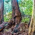 Rotten Redwoods Of Muir Woods by Tianyu Yang
