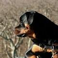 Rottie Profile by Gregory E Dean