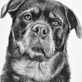 Rottweiler Drawing Titled Mama by Kate Sumners