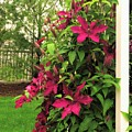 Rouge Cardinal Clematis 2 by Scenic Sights By Tara