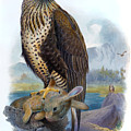 Rough Legged Buzzard Hawk Antique Bird Print The Birds Of Great Britain by Orchard Arts