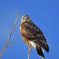 Rough-legged Hawk by Brad Christensen