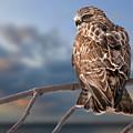 Rough Legged Hawk by Michael Cummings