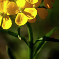 Rough Wallflower  -  60618-122 by Albert Seger
