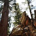 Round Meadow Giant Sequoia by Kyle Hanson