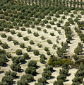 Rows Of Olive Trees Growing In The Village Of Baena by Sami Sarkis