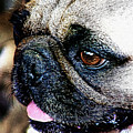 Roxy The Pug by Lisa Stanley