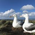 Royal Albatrosses Nesting by Tui De Roy