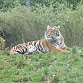 Royal Bengal Tiger by Utpal Datta