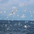 Royal Blue Ocean Tern by Barbara Chichester