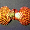 Royal Cloak Scallop Seashell  by Frank Wilson