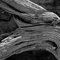 Royal Deadwood Study 2 by Robert Meyers-Lussier