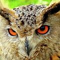 Royal Owl by Carlos Amaro