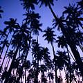 Royal Palm Grove by Allan Seiden - Printscapes