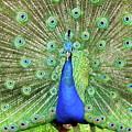 Royal Peacock by Carlos Amaro