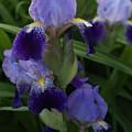 Royal Purple Iris's by Joanne Smoley