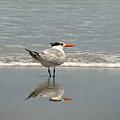 Royal Tern Reflection by Peg Urban