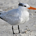 Royal Tern  by Rose  Hill
