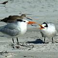 Royal Terns by Bonita Barlow